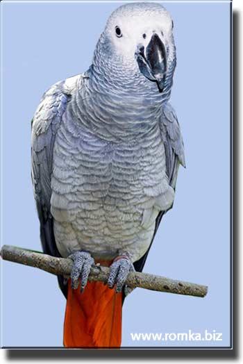 жако попугай фото